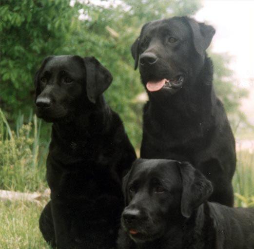 Chilbrook | Labrador Retrievers Specially Bred For Medical